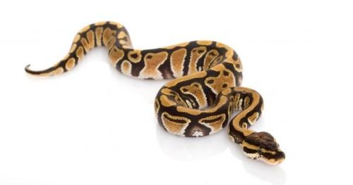serpiente-bebe